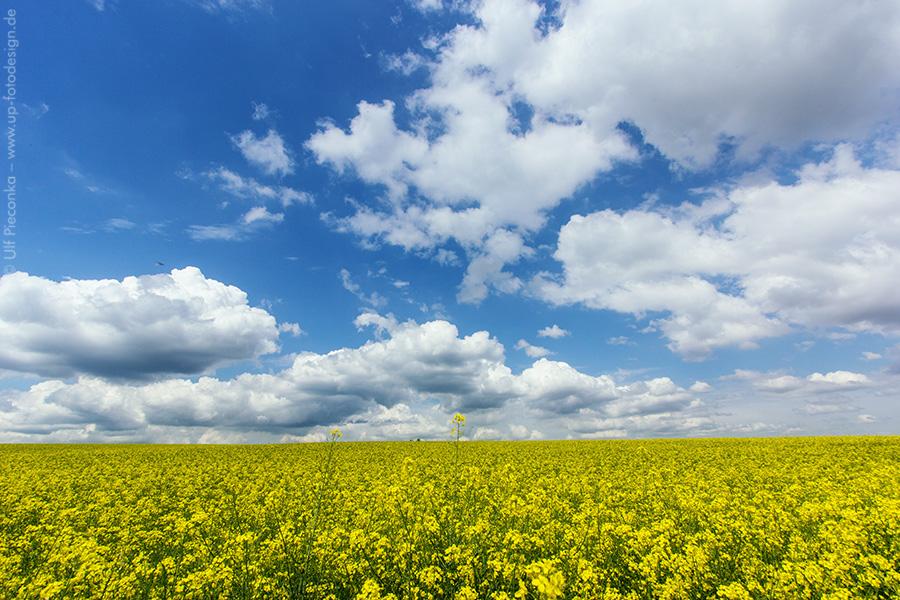 Rapsfeld mit Himmel