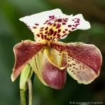 Orchidee - Fotograf Ulf Pieconka - Würzburg