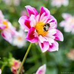 Hummel auf Blüte - - BUKO 2016 - Fotograf Ulf Pieconka - Würzburg